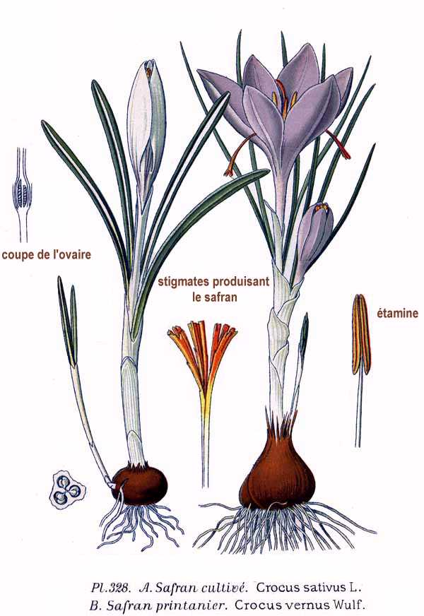 Crocus sativus - Zafferano